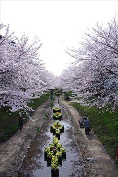 横浜都筑区にある江川せせらぎ緑道の桜
