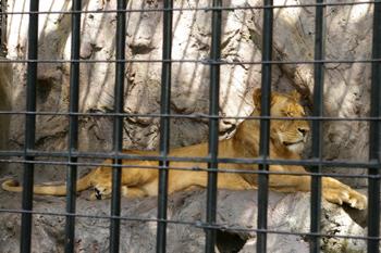 横浜日ノ出町「野毛山動物園」のライオン