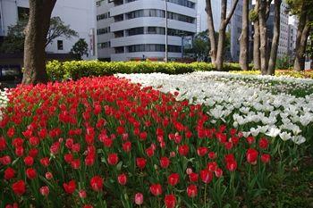 横浜関内にある横浜公園のチューリップ