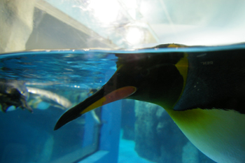 横浜・八景島シーパラダイスのペンギン