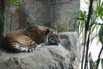 横浜市旭区にある動物園「ズーラシア」のトラ