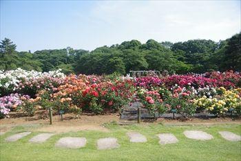 川崎市多摩区にある生田緑地ばら苑のバラ