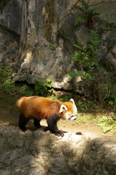 横浜日ノ出町「野毛山動物園」のレッサーパンダ