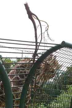 横浜日ノ出町「野毛山動物園」のキリン