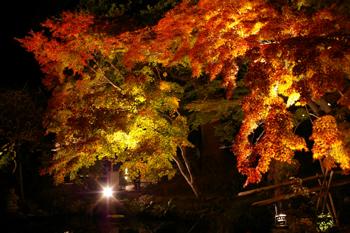 鎌倉「長谷寺」のライトアップされた紅葉2