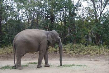横浜市旭区にある動物園「ズーラシア」のゾウ