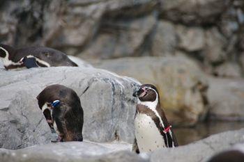 横浜市旭区にある動物園「ズーラシア」のペンギン