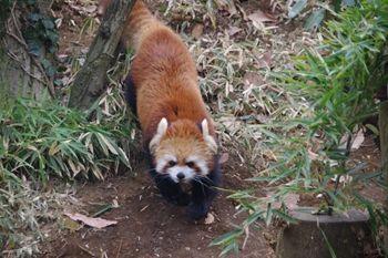 横浜市旭区にある動物園「ズーラシア」のレッサーパンダ