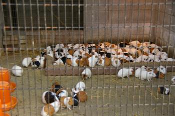 夢見ヶ崎動物公園のモルモット