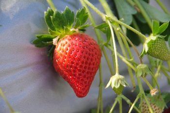 横須賀にある津久井浜観光農園のイチゴ