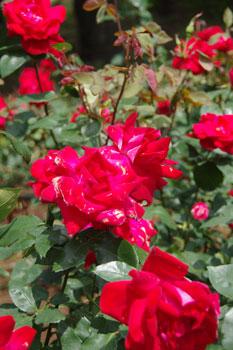 横浜山手の「港の見える丘公園」のローズガーデンのバラ