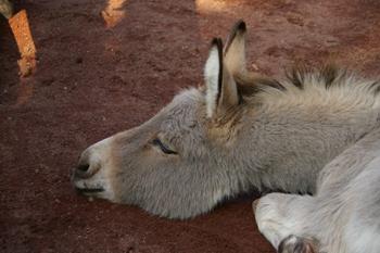 夢見ヶ崎動物公園のロバ