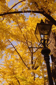 横浜山下公園前の銀杏並木と街灯