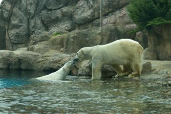 ズーラシアの白熊