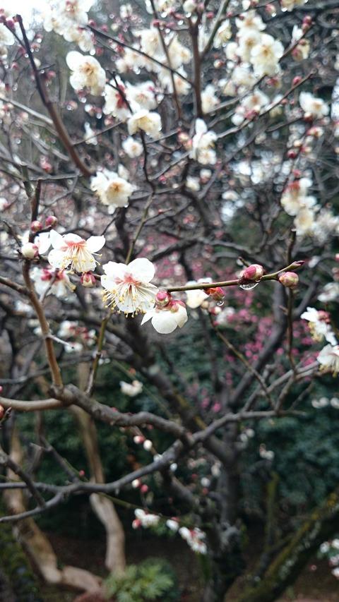 静嘉堂文庫美術館 庭園の梅