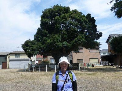 100 スタジイの樹