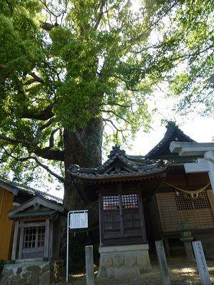 080 楠木(関川神社)