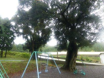 112 榎の大木