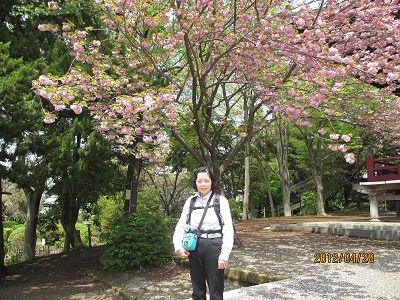 31 遊行寺境内の桜