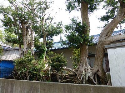 107 火防樹(マキの木)