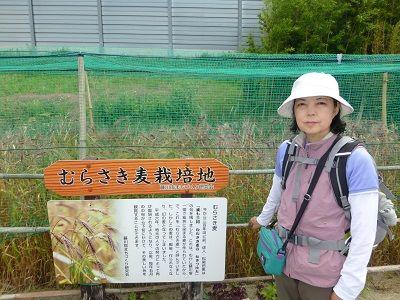 076 むらさき麦栽培地