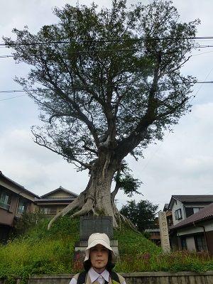 062 101野村一里塚・ムクの木