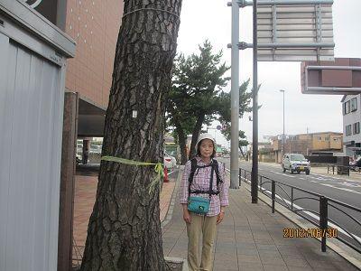 24 79㎞ポイントの松並木