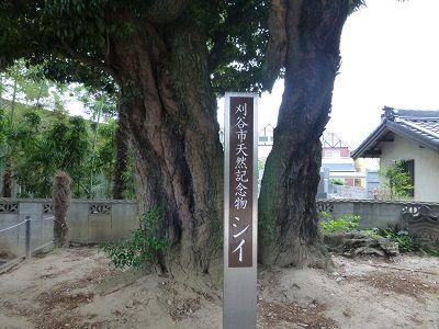 125 天然記念物「シイ」の木