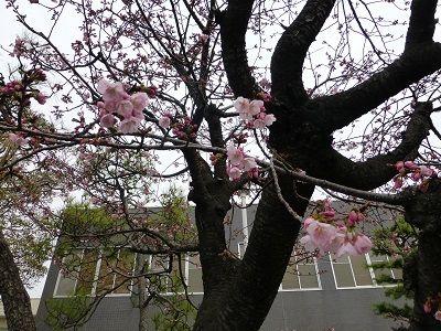 046 桜の開花