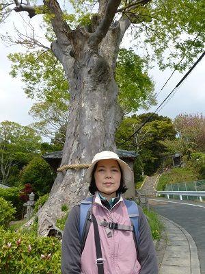 041 諏訪神社の大ケヤキ