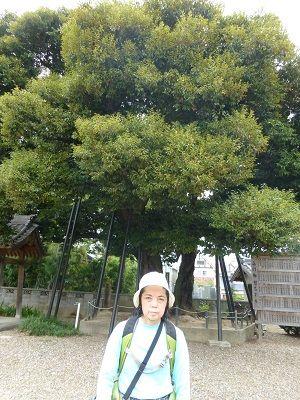 127 天然記念物「シイ」の木