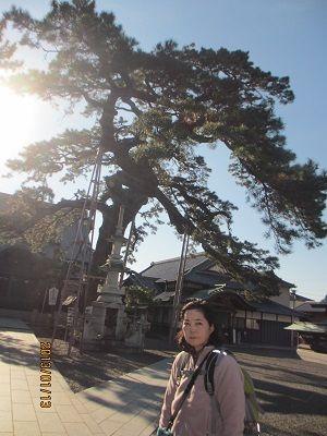 28 久遠の松(大慶寺)