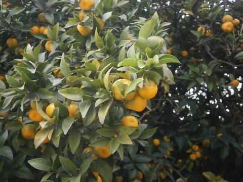 右近の橘2