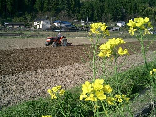20090410菜の花