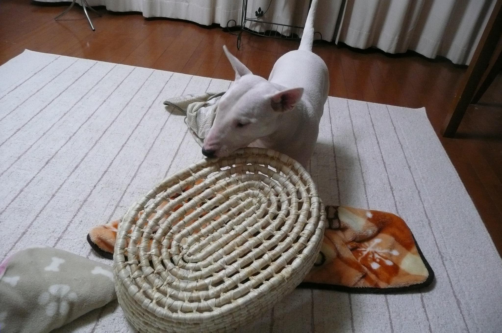 Resultado de imagen para 犬 Bull Terrier 破壊する