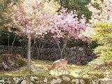 04八重桜と鹿