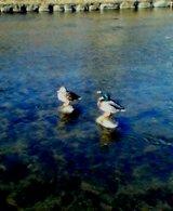 2006_01_28鴨