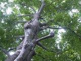 22ブナの木