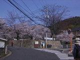 03道中の桜