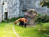 レッサーパンダ1
