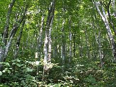 比婆山のブナ林