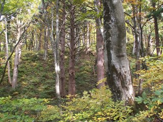 49ブナ杉混合林