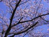 34麓の桜