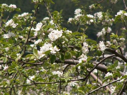 2011_04_29りんごの花