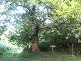 08栗の大木