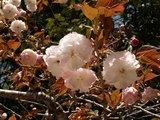 12八重桜