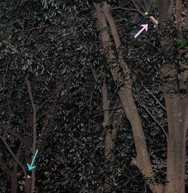 181108-5(右:メスA、左:汚フグリオス)