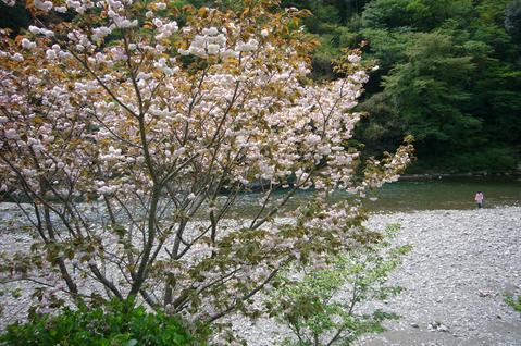 ぼたん桜1