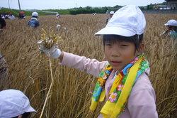 麦刈3 (2)