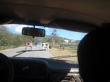 20009キューバ プラヤカコナオ牛の横断